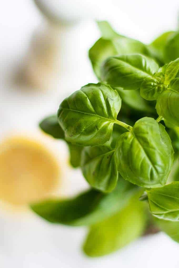 A close up of basil leaves on a basil plant.